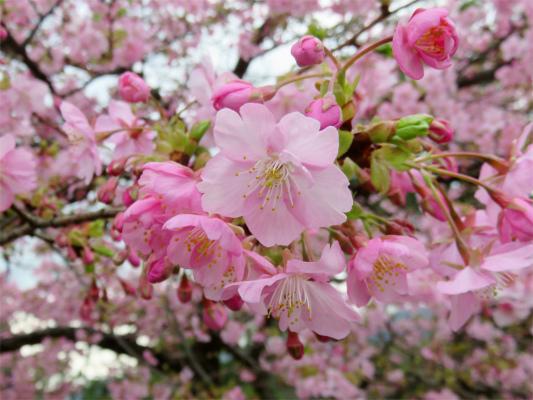 河津桜のお花