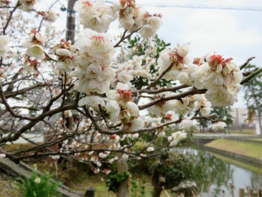 小田原城の梅の花開花