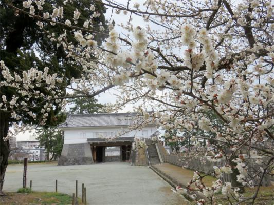 小田原城の梅の花白色が多い