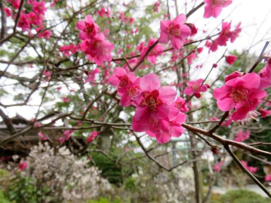 梅の花が咲き乱れる尊徳二宮神社の境内