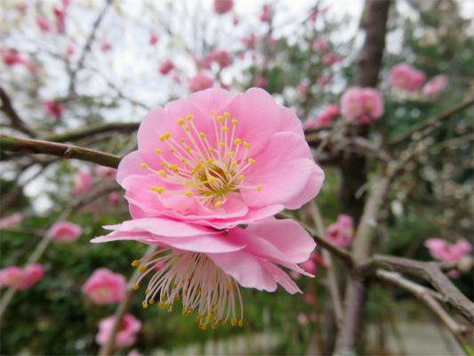 ピンク色の梅のお花