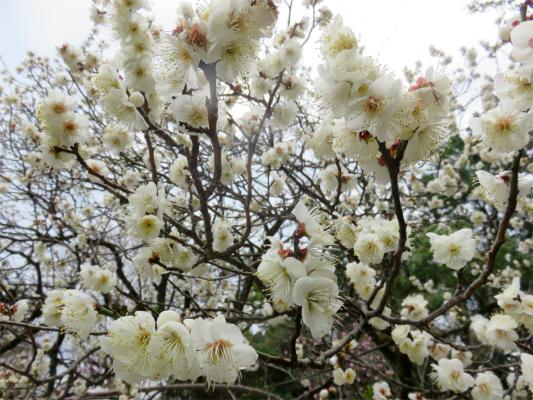 小田原城の梅の花よりも綺麗