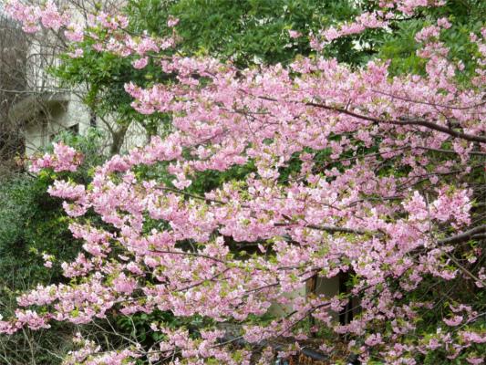 >河津桜が満開天山周辺
