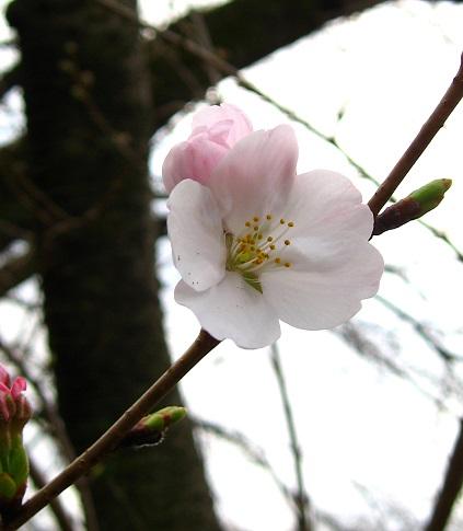大野山ハイキング桜のお花