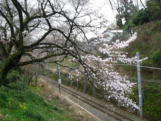 JR山北駅周辺は、桜の名所