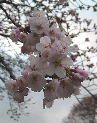 曇り空で映えない桜