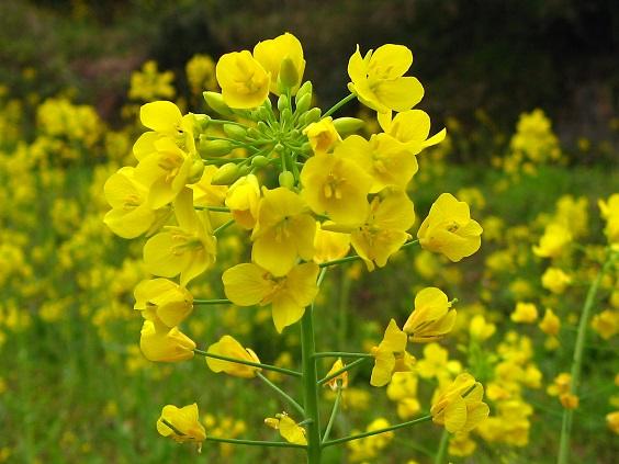 大野山ハイキングコース菜の花