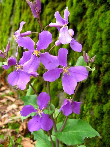 大野山ハイキングコース花