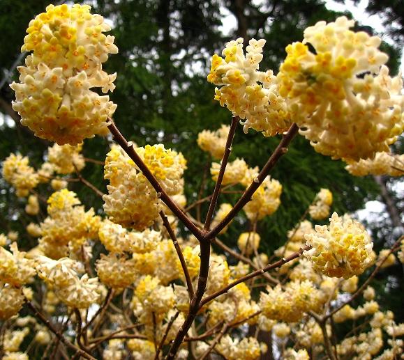 大野山ミツマタの花が満開