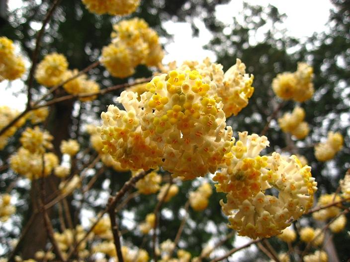 大野山とミツマタの花