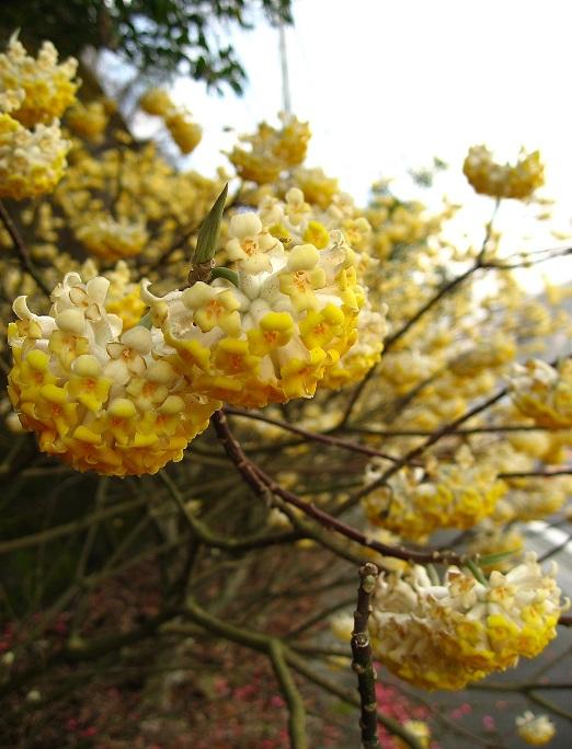 丹沢の春の名物はミツマタの花