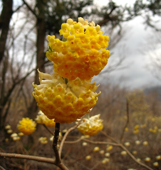 ミツバ岳のミツマタの花