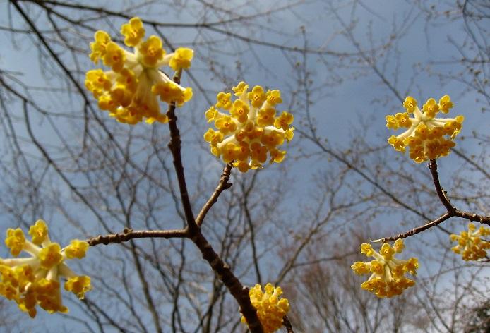 ミツマタの花は、名前の通り三つの又