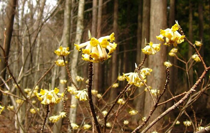 権現山~屏風岩山の間にもミツマタの花