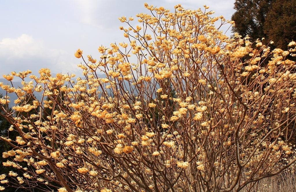 ツマタの花が凄い