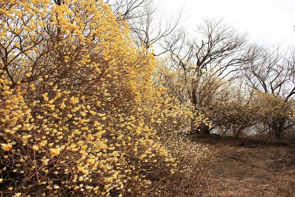 ミツマタの花とミツバ岳での時間