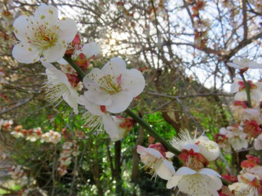 陣渓園梅の花