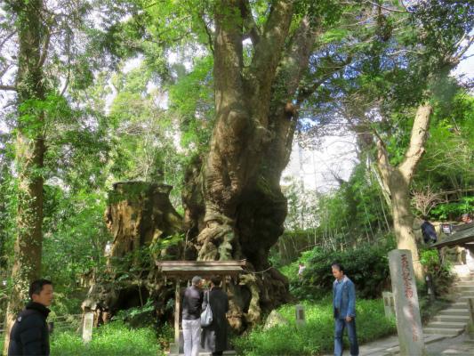 来宮神社の本殿の裏側に鎮座している大楠木