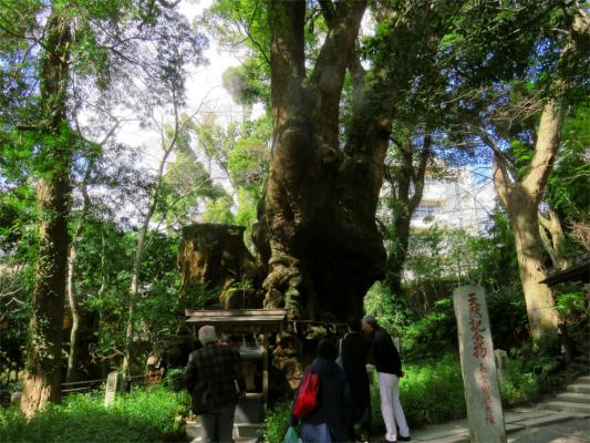 大楠木の周り遊歩道