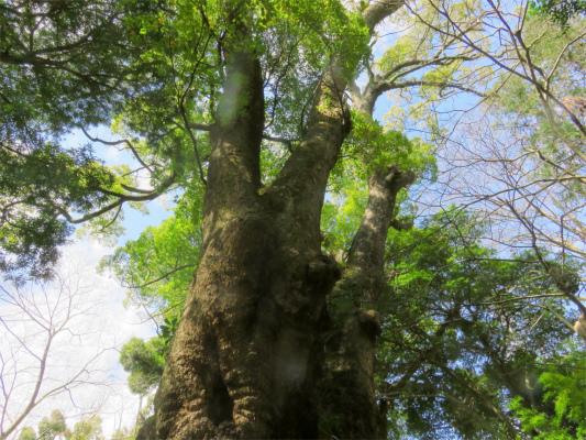 凄いパワー来宮神社の大楠木