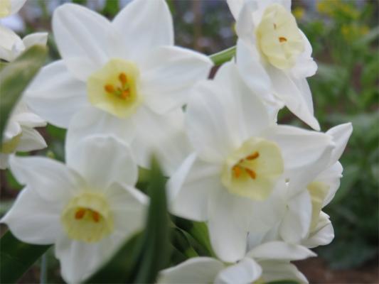 とざんちゅう水仙の花