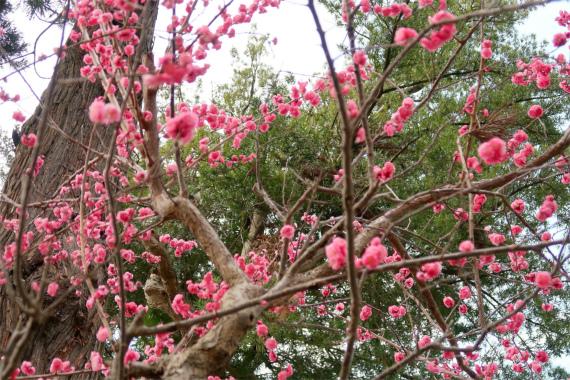 梅の木も花が咲いてました