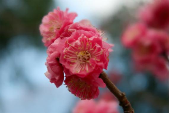 梅の花も色が濃くお花見によい