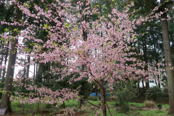 上粕屋神社河津桜