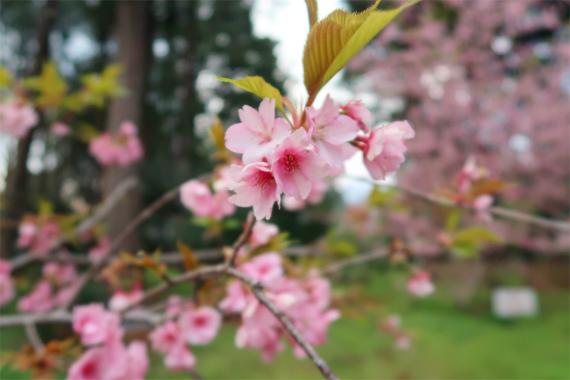 河津桜のお花満開