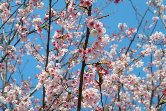 太田道灌のお墓4月頃桜の花