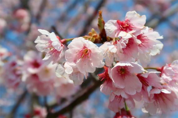 太田道灌のお墓の桜