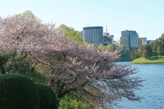 皇居周辺のお堀にも桜が植わっている