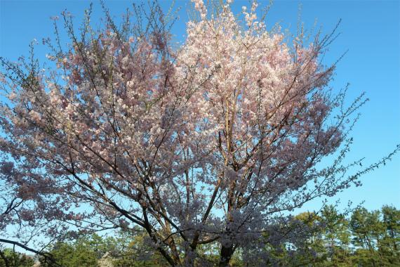 満開の桜の様子青空に映える桜色