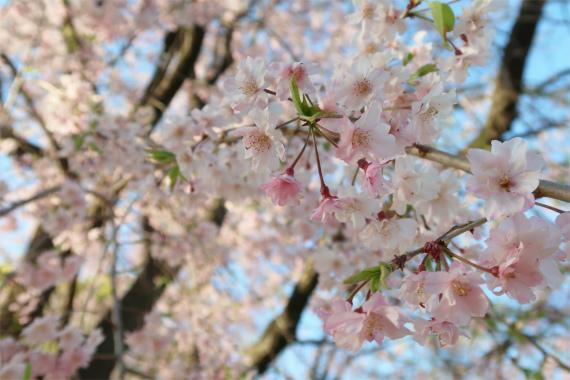東京駅桜の様子満開で綺麗