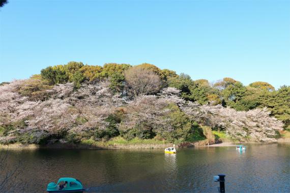 皇居のお堀の桜が美しいスワンでボートデート