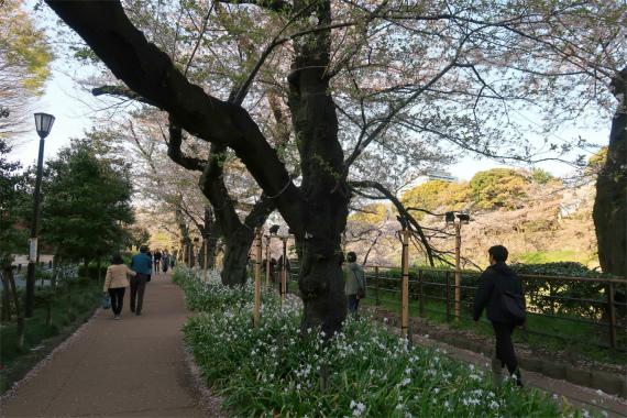 お花見スポット千鳥ヶ淵の桜並木