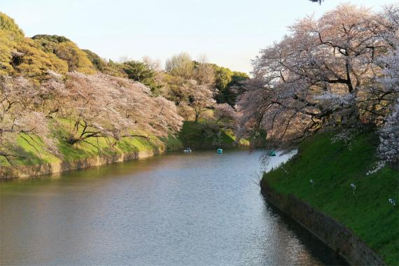 千鳥ヶ淵の桜満開の様子