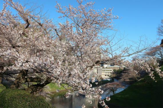 皇居・千鳥ヶ淵周辺の桜並木が満開の時期
