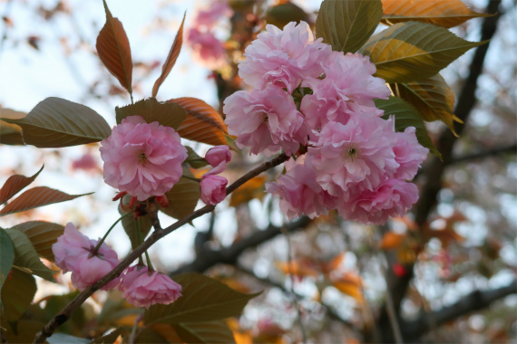 千鳥ヶ淵公園桜祭り