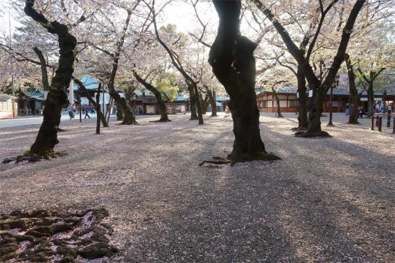 靖国神社の桜並木と桜の絨毯のような地面の様子