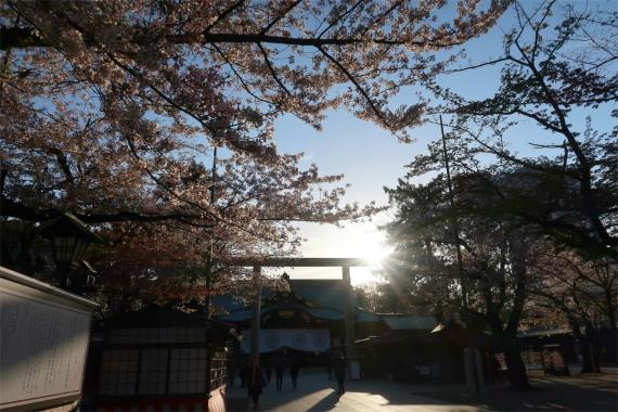 靖国神社の桜並木と夕日