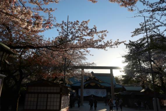 靖国神社の鳥居と、桜のコントラスト