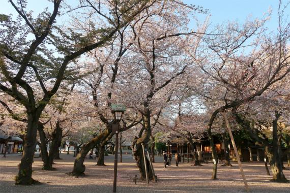東京の開花宣言で使用する標準木が靖国神社にある