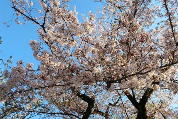 靖国神社の参道満開の桜