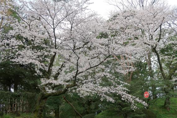 石浦神社周辺の桜