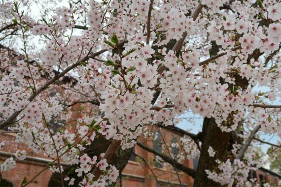 金沢赤レンガ倉庫で桜の花を見る