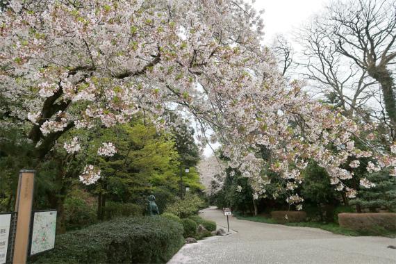 前田利家像周辺の桜