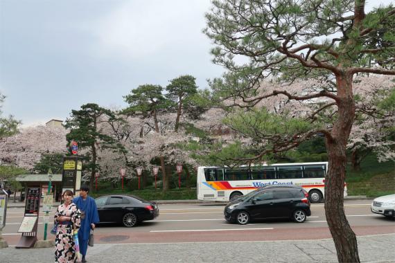 金沢美人と百万石通りの桜