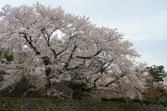 太くて立派な幹の桜が百万石通りに鎮座