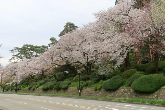 百万石通りの桜